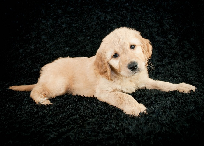 Three Reasons To Get Yourself A Goldendoodle In 2019