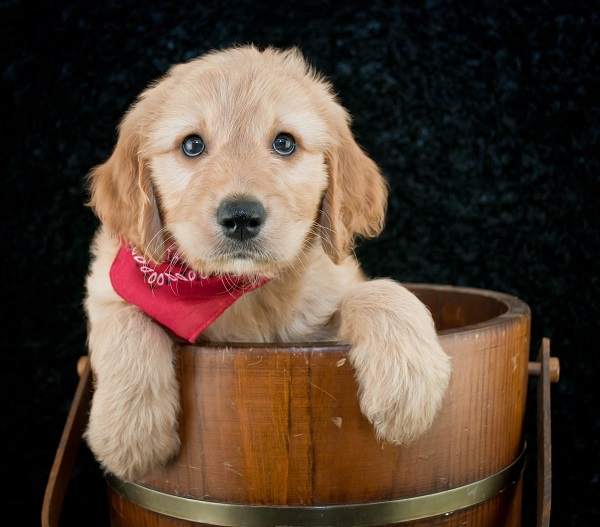 Tips For Goldendoodle Owners With Allergies
