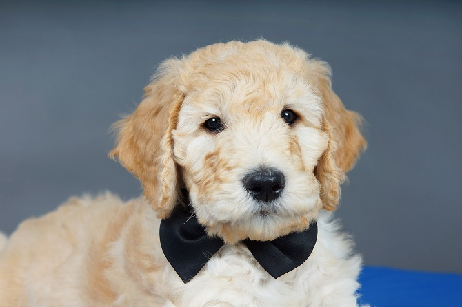 3 Things That Make Goldendoodles Irresistible
